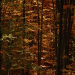 Karpaten - Rumänien - Bunter Mischwald im Herbst - Baumkronen
