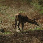 Karpaten - Rumänien - Hirschkuh im Wald