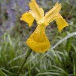 Schweden - Taubenetzte, gelbe Blume