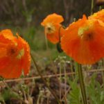 Island - Mohn in orange