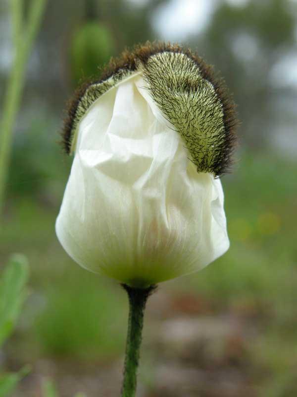 Natur - Blüte, weißer Mohn aus Island entfaltet sich