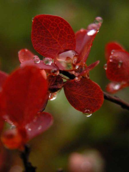 Natur - Heidelbeer-Pflanze im Herbslaub, rot, mit Wassertropfen