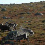 Norwegen - Rentierherde auf der Flucht über eine rote Ebene