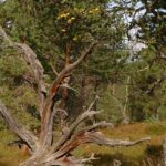 Norwegen -Baumwurzel, vom Wetter abgeschliffen