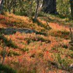 Norwegen -Heidelbeerfeld