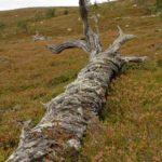 Norwegen - umgestürzter Baum, entrindet und gebleicht in Heidelbeerfeld