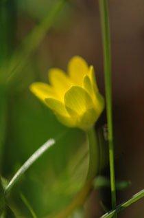 Fruehlingserwachen - Macro einer gelben Blume