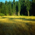 USA -Wapitis auf einer Waldlichtung im Redwood - Nationalpark