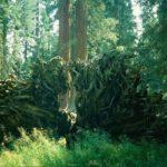 USA - Baumwurzel eines gefallenen Baumes im Redwood - Nationalpark