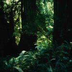 USA - Bäume zwischen Farn im Redwood - Nationalpark