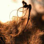 Galerie Deutschland - Samen mit Fäden in der Morgensonne