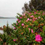 Sardinien - Blumen am Strand im Frühling