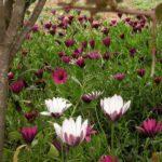 Sardinien - Violette und weiße Blumen im Frühling