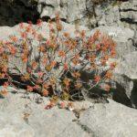 Sardinien - Orange-Roter Strauch auf Felsen