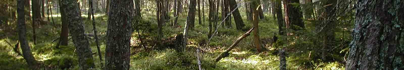 Seminar-Termine_Schamanismus und Natur. Grüner Wald im Mai