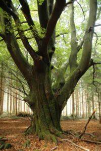 Dicker, alter Baum im Wald