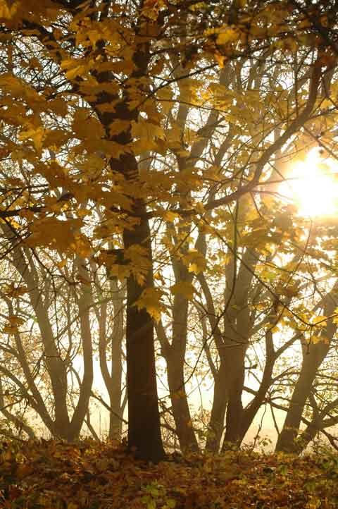 Ahorn im Herbstmorgen-Herbst was wir wissen