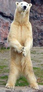 Sehen aufrechter Gang - Eisbär auf den Hinterpfoten