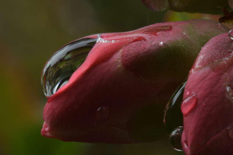Bildergalerie-rote Blüte mit Regentropfen