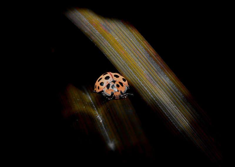 Bildergalerie-Käfer mit Punkten auf Schilfhalm