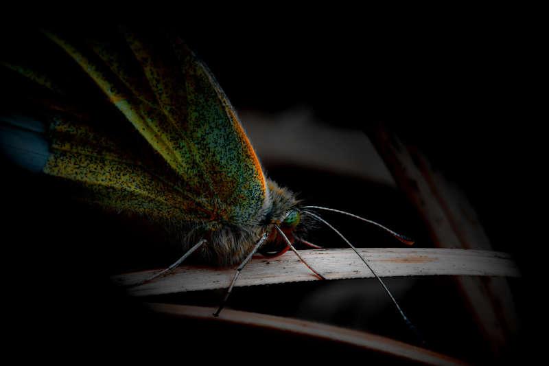 Bildergalerie-Schmetterlin auf Schilfgras
