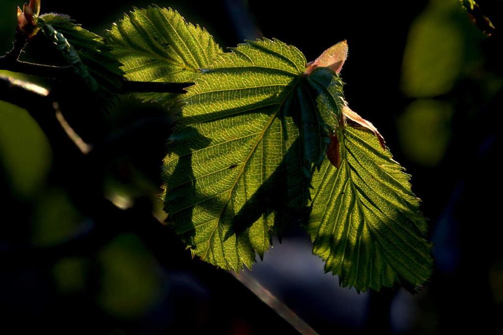 Bilder - Frühling Hainbuchenblatt