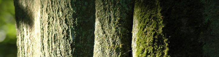 Schamanismus und Natur - Buchenstamm im Sonnenlicht